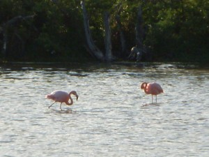 Pink flamingos in the distance