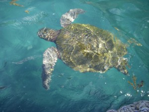 Sea turtle swimming next to our zodiac
