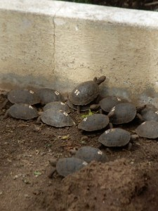 Teeny tiny baby tortoises