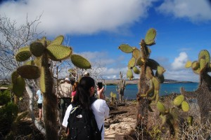 Giant prickly pear cactuses
