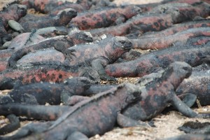 Big pile of marine iguanas