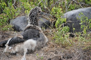 Freaky looking waved albatross chick
