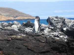 Galapagos penguin just chillin' on the rocks