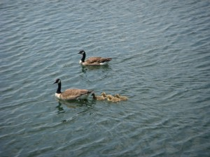 A family of geese taking a swim