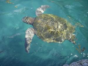 Sea turtle swimming next to our zodiac