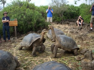 Two giant tortoises fighting over food and territory