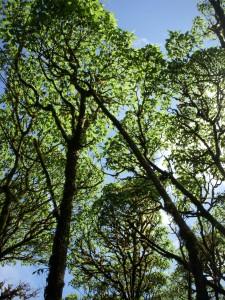 Beautifully unique scalesia trees
