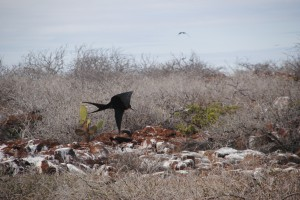 Frigate bird coming in for a landing over the dry landscape