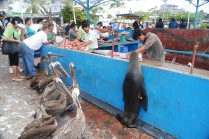 Pelicans and sea lions crowding the fish market