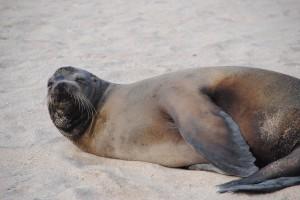 Sea lion bidding us good night