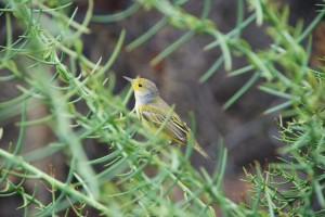Tiny yellow warbler