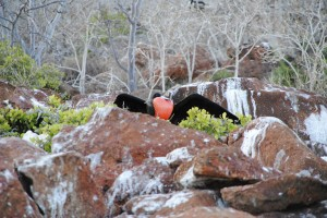 Male frigate bird with his pouch inflated ready to attract the females