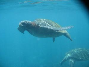 More underwater turtle shots